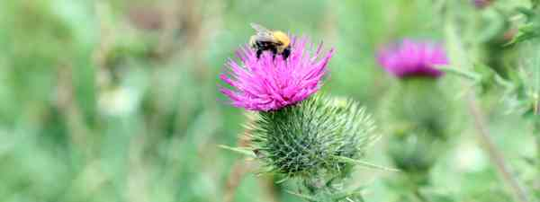 A friendly carder bumblebee (Phoebe Smith)