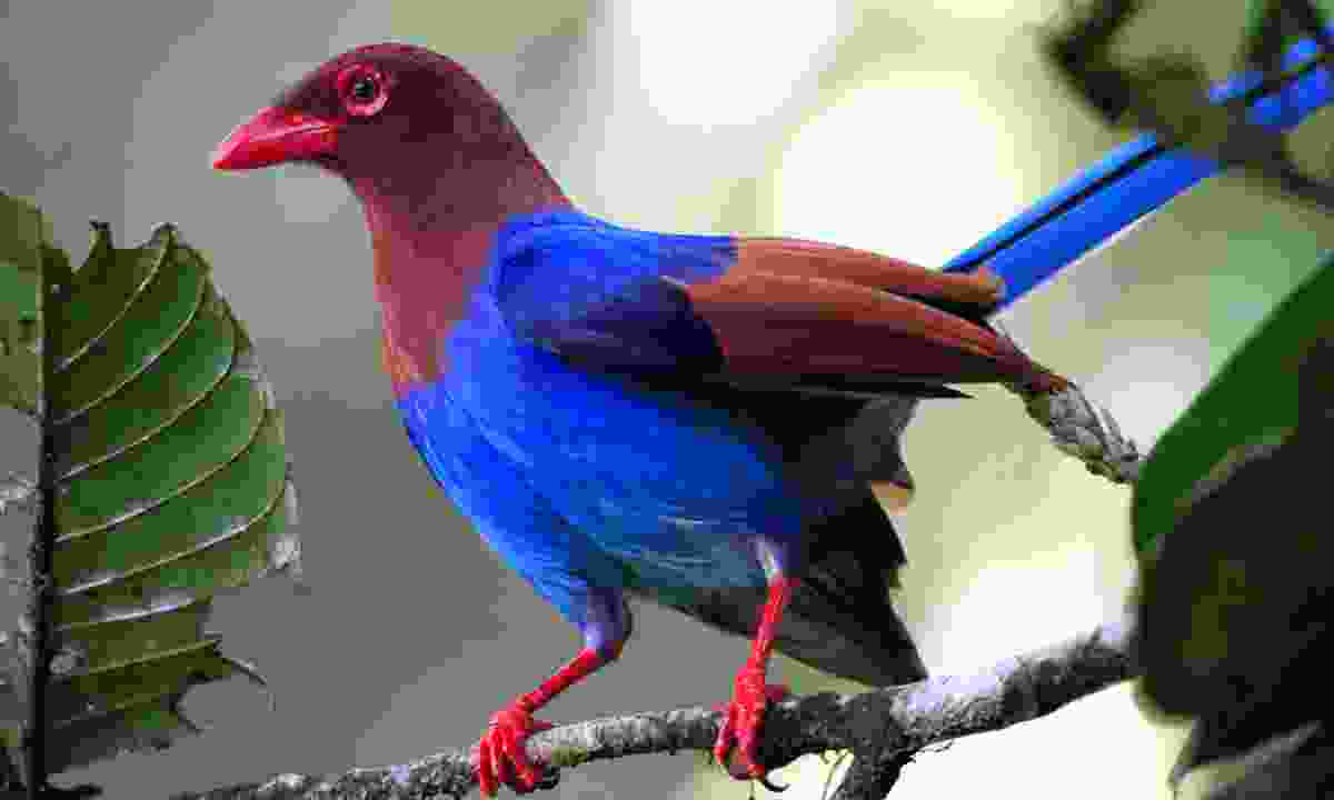 Ceylon blue magpie (Gehan de Silva Wijeyeratne)