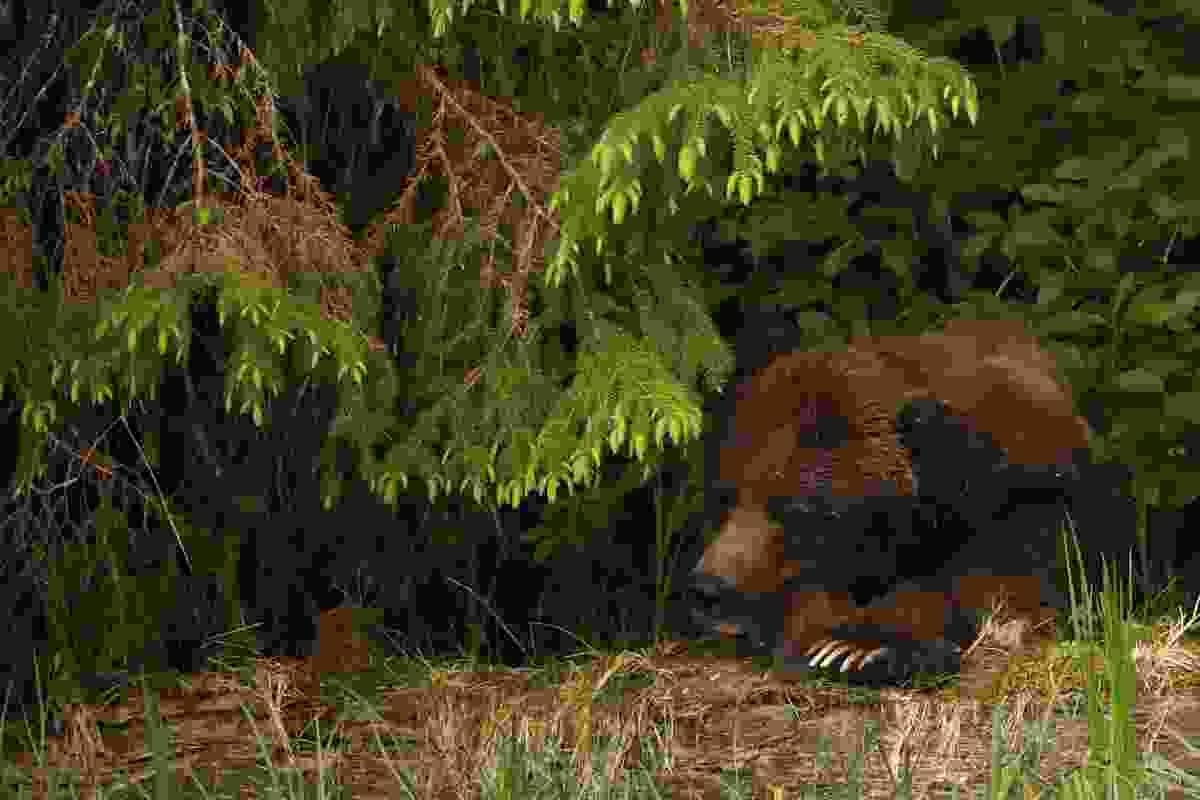 Sleepy grizzly beneath a tree (Phoebe Smith)