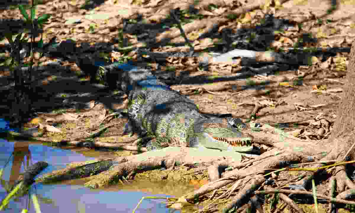 Saltwater crocs are frequent visitors to water supplies especially once you reach the Northern Territory (Phoebe Smith)