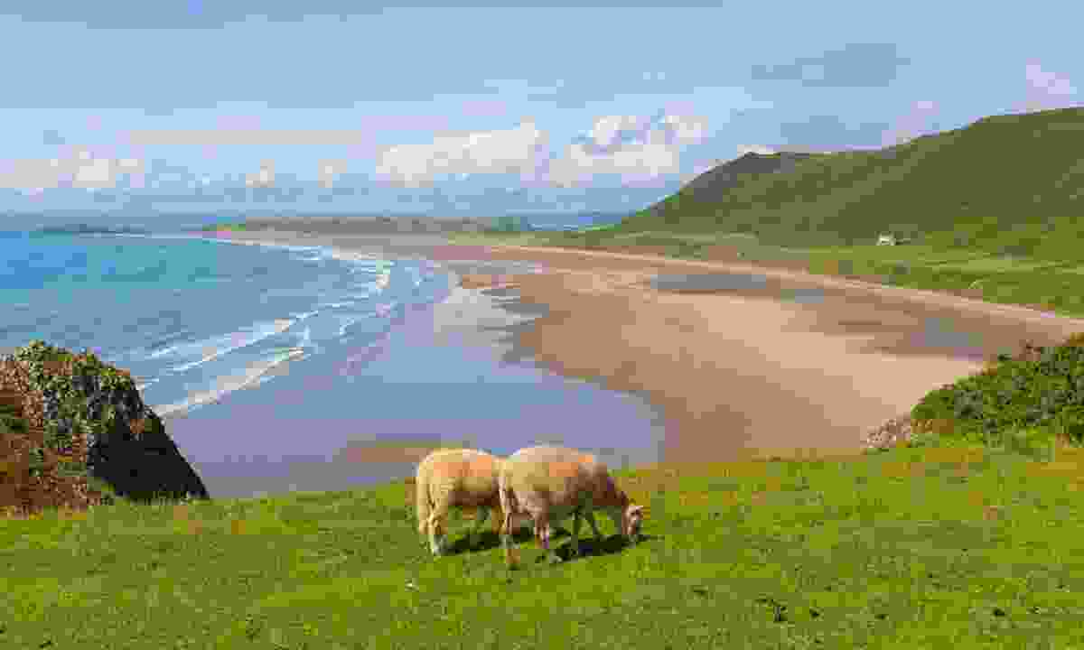 Silence of the lambs: Sheep quietly grazing on the edge of Rhossili Beach on the Gower Peninsula, routinely touted as one of the UK's best sands (Graeme Green)