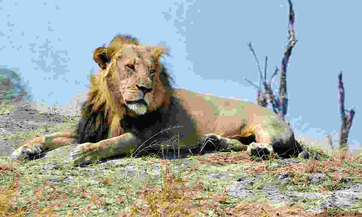 Taking over the pride that once belonged to the famous Cecil, Bhubesi's name means 'big male lion' in Xhosa (Mark Eveleigh)
