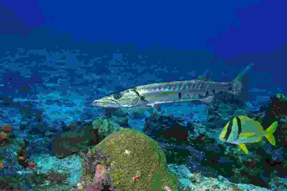 Barracuda in waters around Cozumel (Dreamstime)