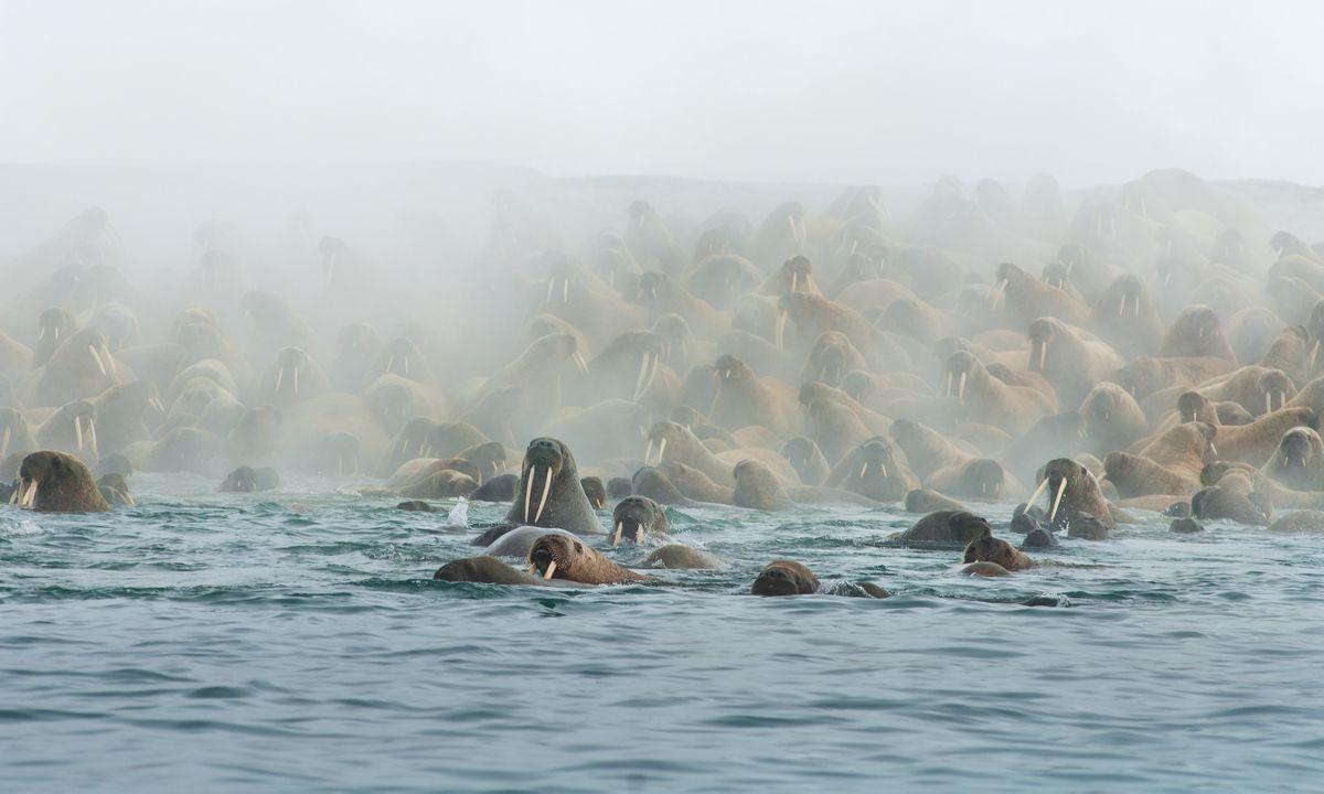 Walrus colony on a beach in Svarlbad (Jonathan Smith)