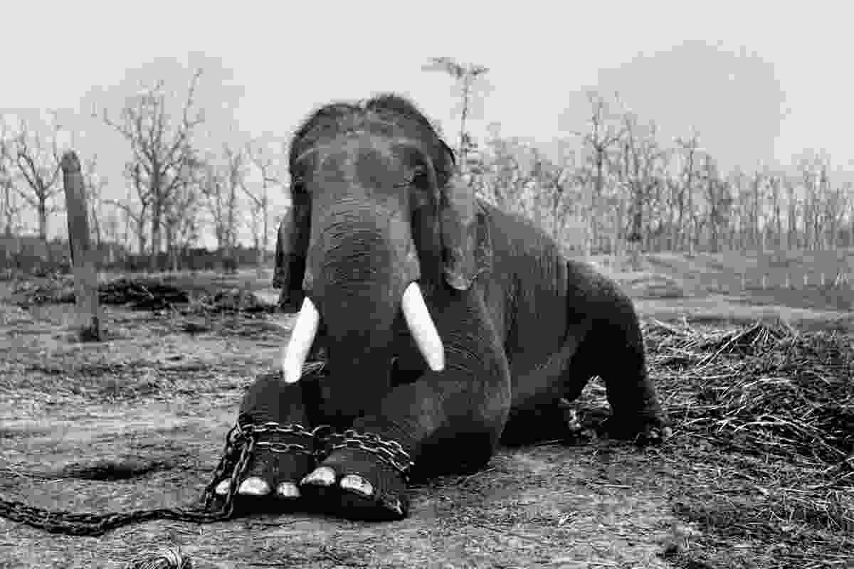 Chained elephant (© Patrick Brown / Panos Pictures)