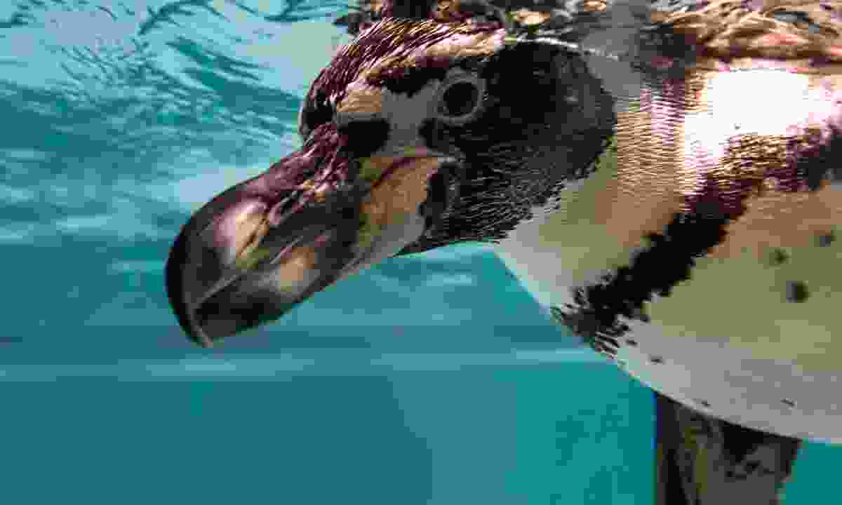 Penguin at London Zoo (Dreamstime)