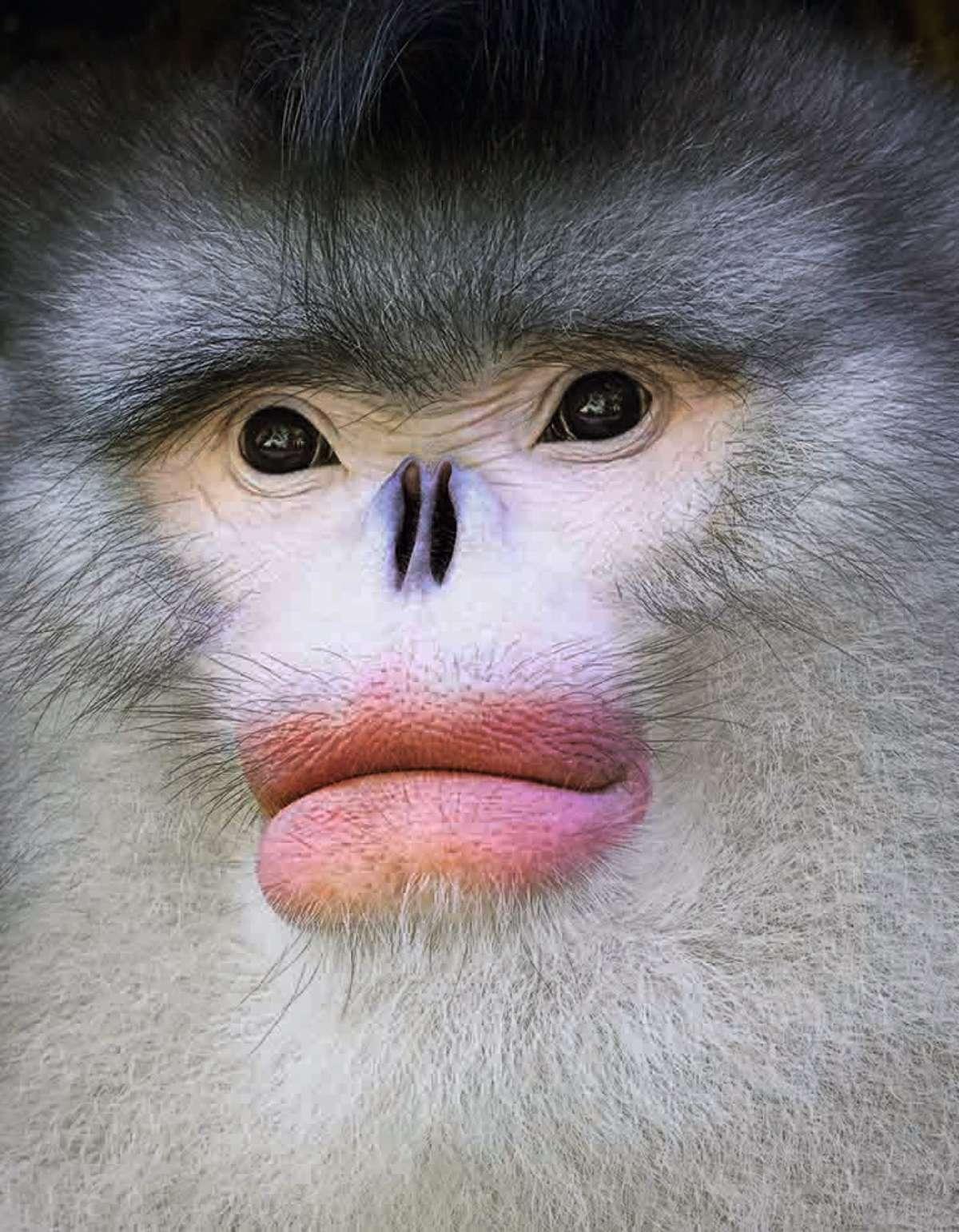 Yunnan snub nosed monkey (©Tim Flach)