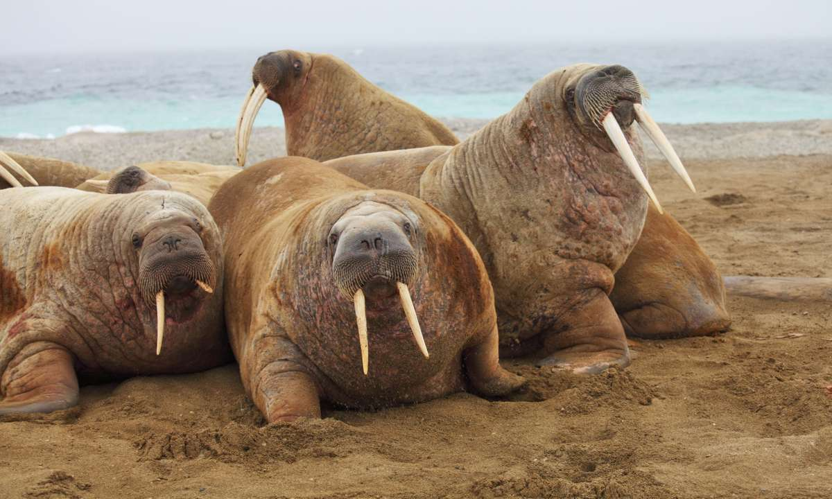 Wrangel Island is home to thousands of walruses (Dreamstime)