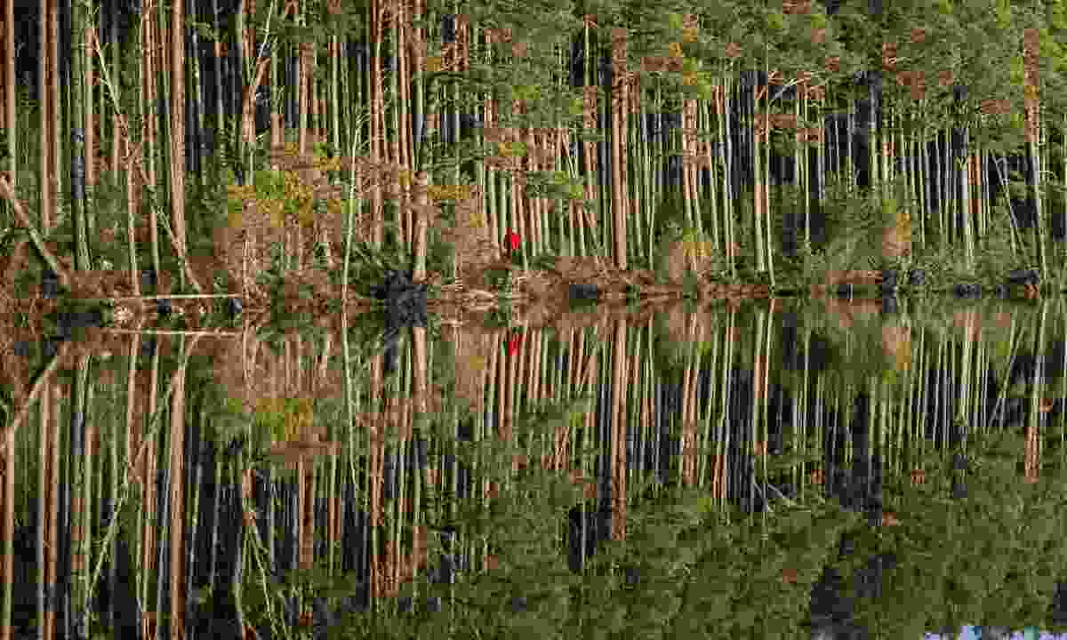 Explore the Caledonian pine forest (Dreamstime)