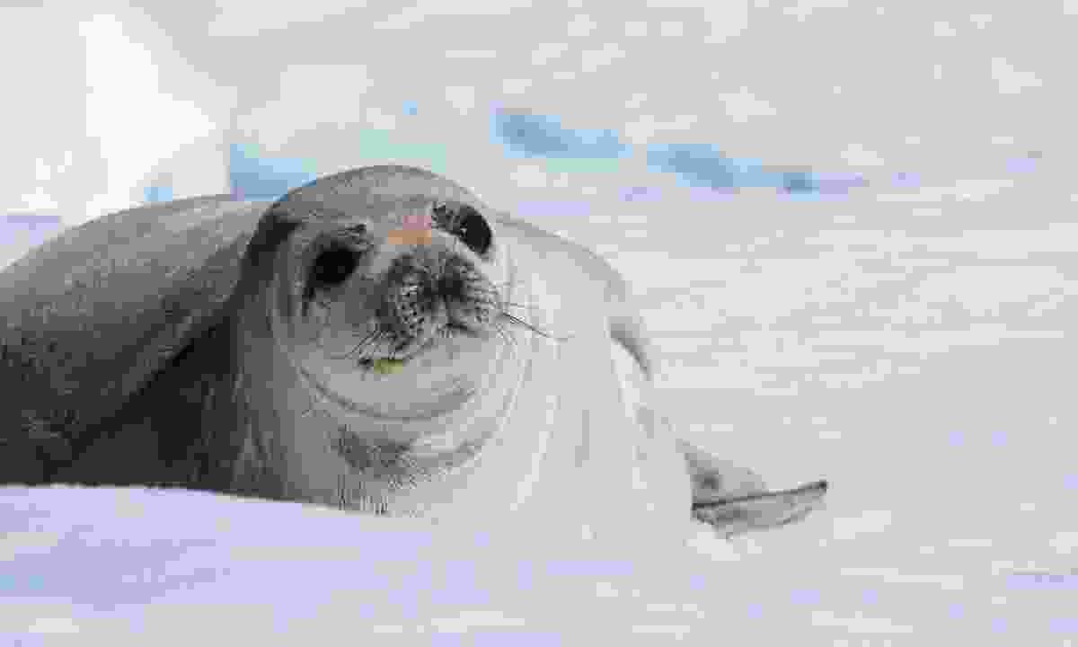 Weddell seal (Dreamstime)
