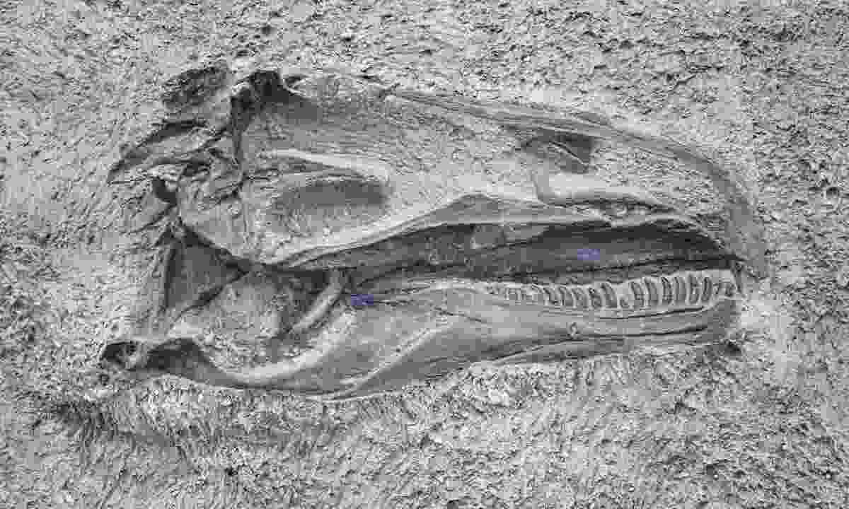 Dinosaur skull in Dinosaur National Monument, Utah (Dreamstime)