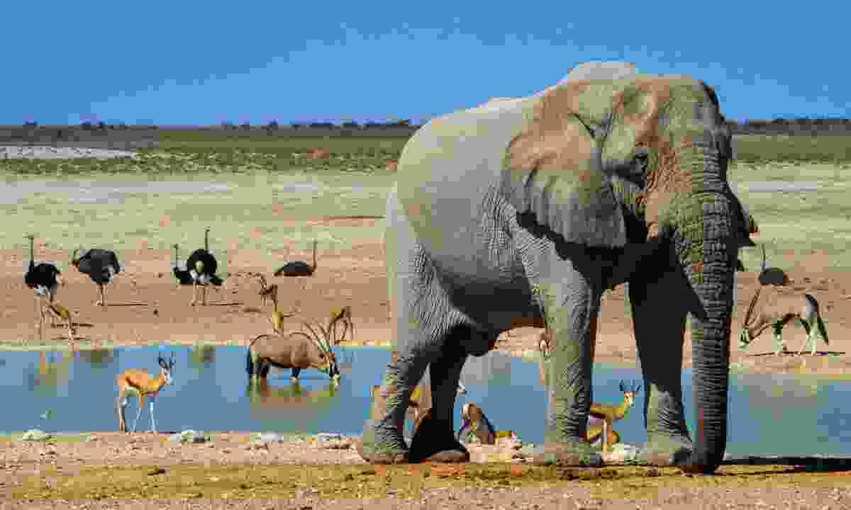 Elephant roaming in Etosha National Park (Dreamstime)