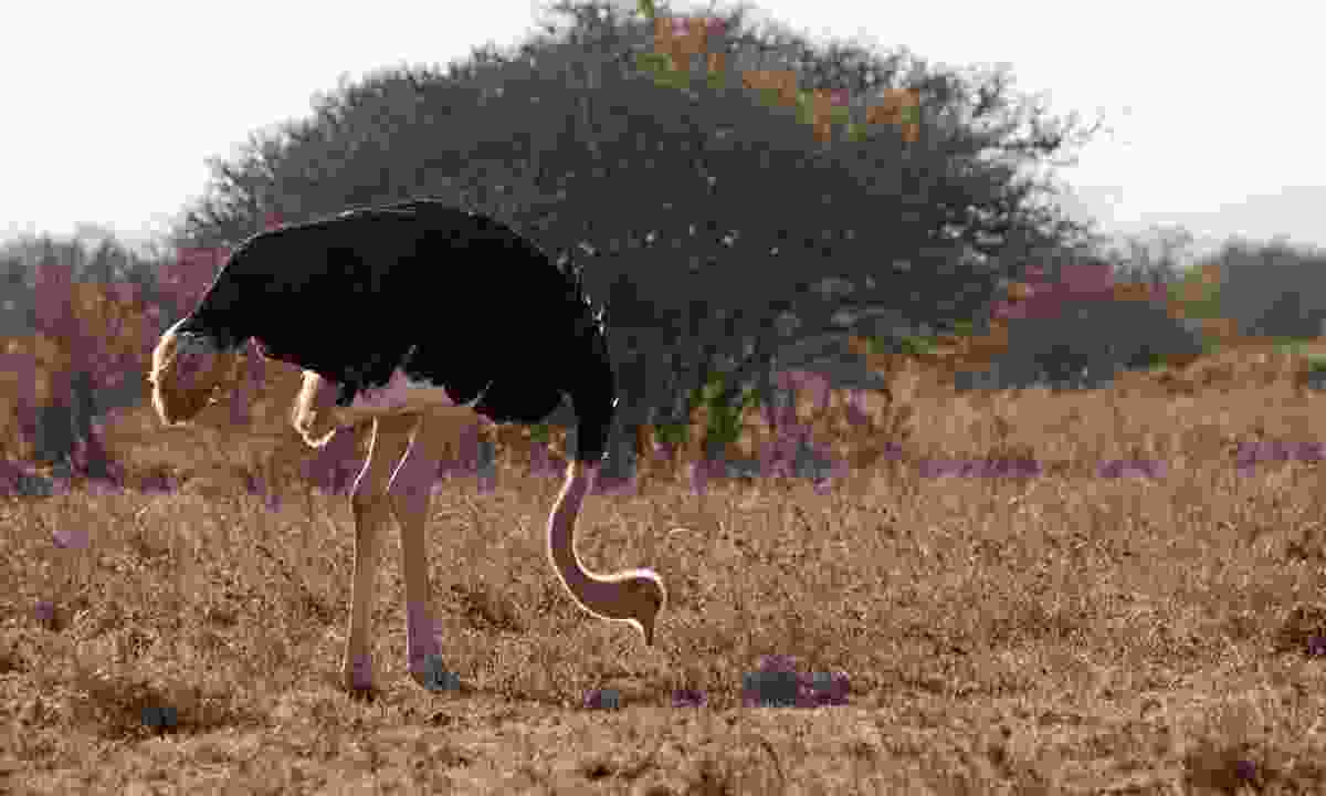 An ostrich forages in Nairobi National Park (Emma Gregg)