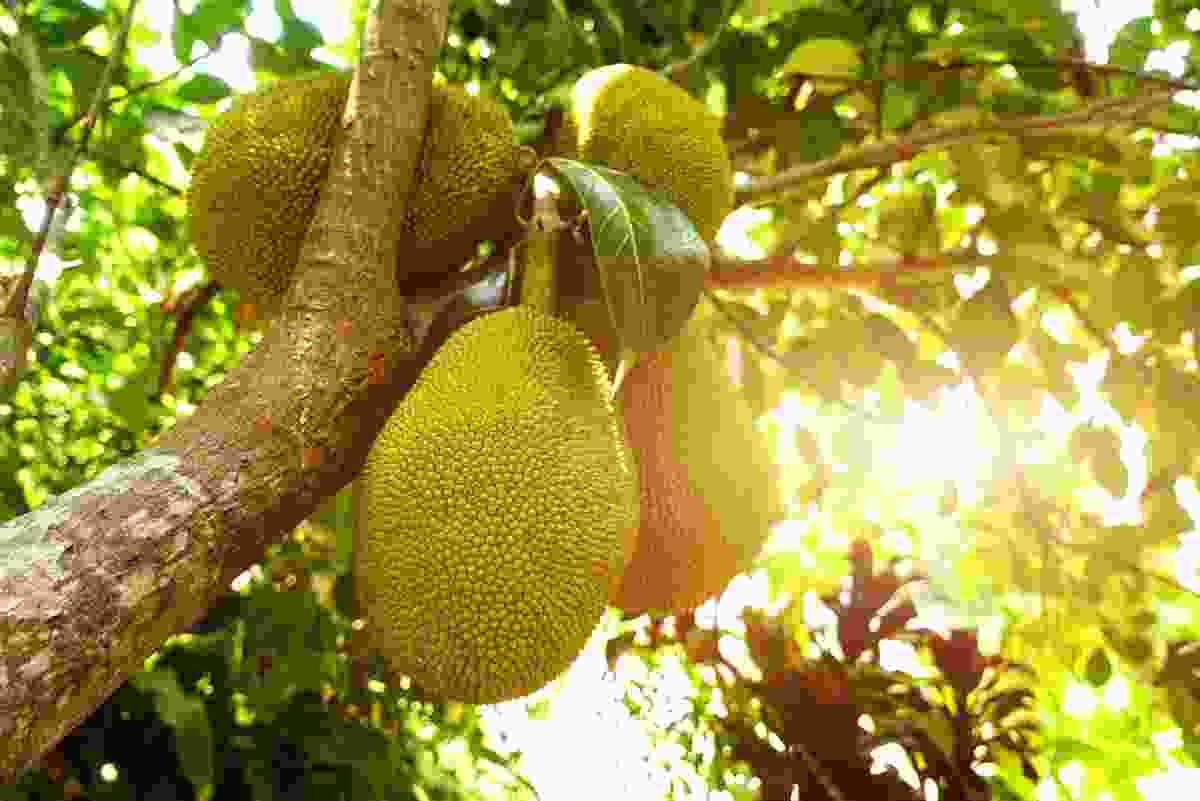 Jackfruit texture makes it a popular vegetarian curry addition (Shutterstock)