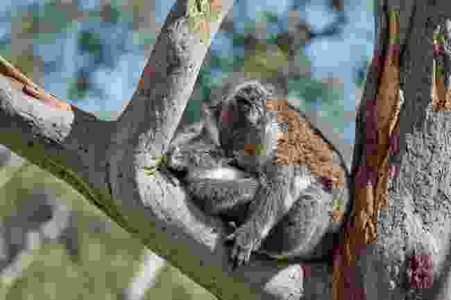 Koalas kissing in the Adelaide Hills (George Papanicolaou)