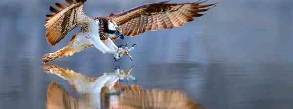 Osprey (Shutterstock)