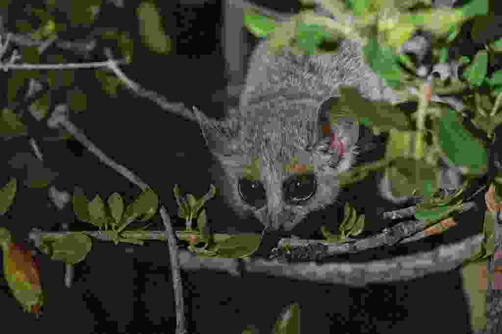 Set out at after dusk into the spiny forest and use torches to spot grey mouse lemur by their eye glow (William Gray)