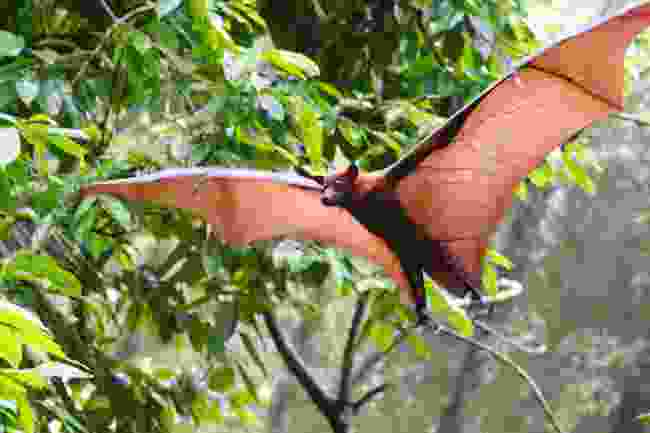 Look out for flying foxes in Loagan Bunut National Park  (Shutterstock)