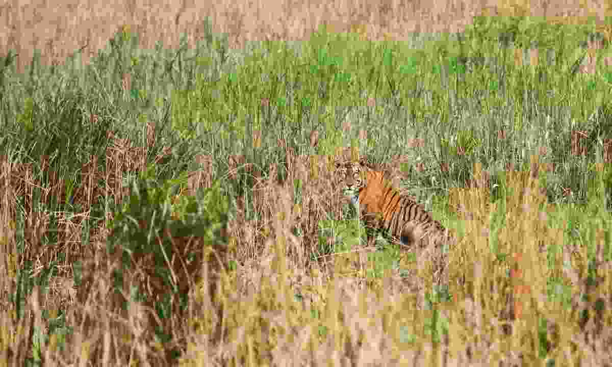 A tiger hiding in the grass in Kaziranga National Park (Shutterstock)