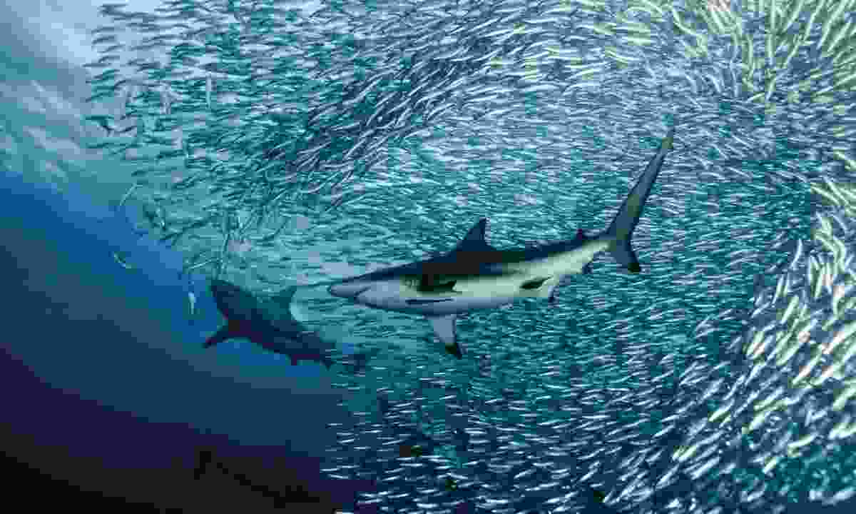 Sardines hunted by sharks in South Africa (Alex Safonov)