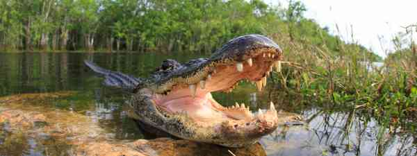 An alligator in Florida (Shutterstock)