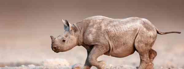 A baby black rhinoceros (Shutterstock)