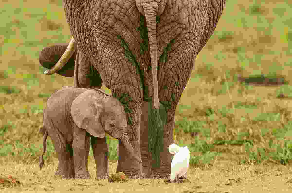 Elephant with her baby, Amboseli National Park, Kenya (Photo © 2018 Michael Poliza)