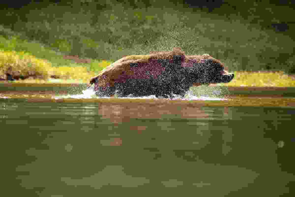 A swimming bear shakes off the water in Khutzeymateen Provincial Park, Canada (Phoebe Smith)