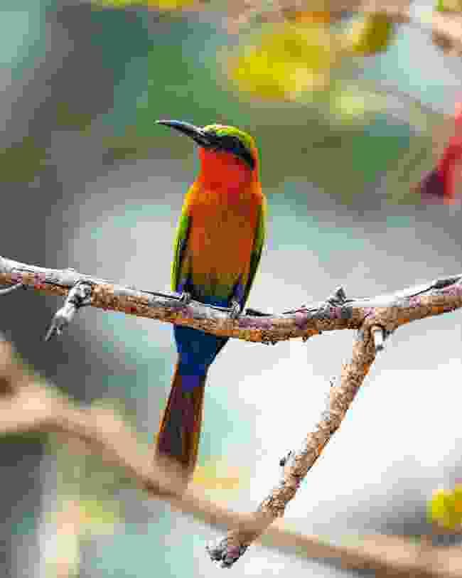 Carmine bee-eater (Mark Stratton)