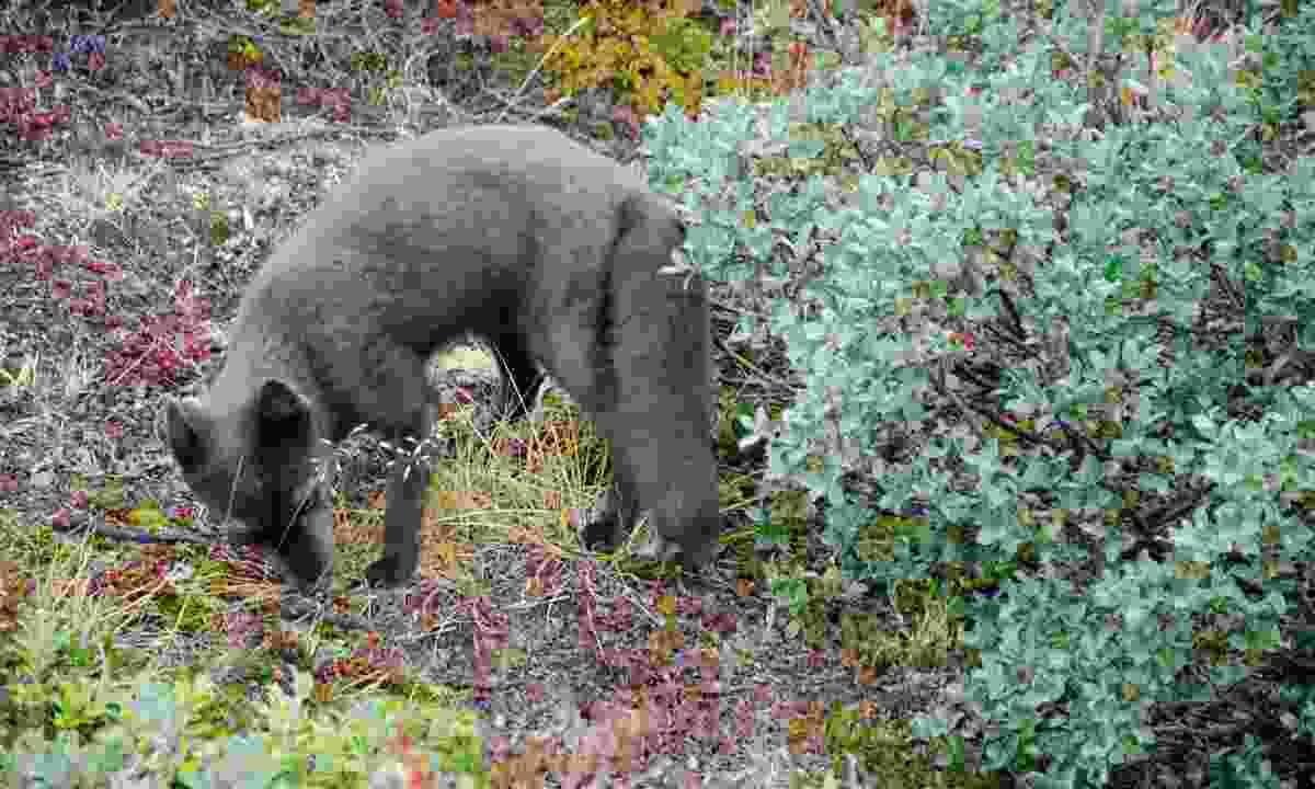 An Arctic fox (Phoebe Smith)