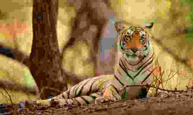 A tiger in India (Dreamstime)