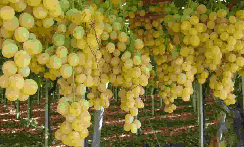 Grapes in a vineyard in Apulia (Dreamstime)