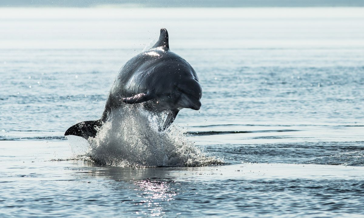 A bottlenose dolphin in the waters of the Moray (Dreamstime)