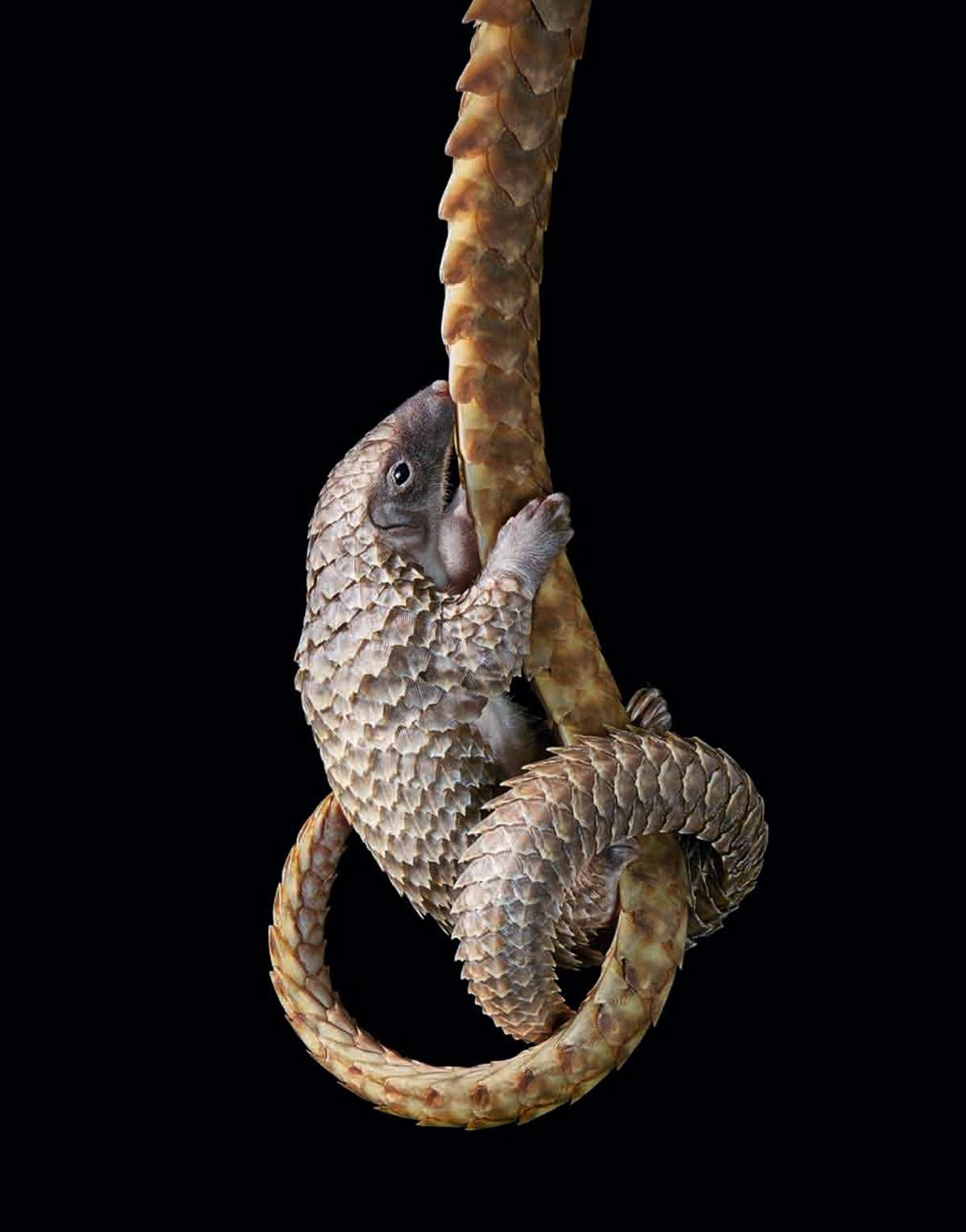 A white bellied pangolin (©Tim Flach)