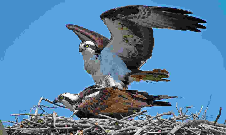 Ospreys nesting (Dreamstime)