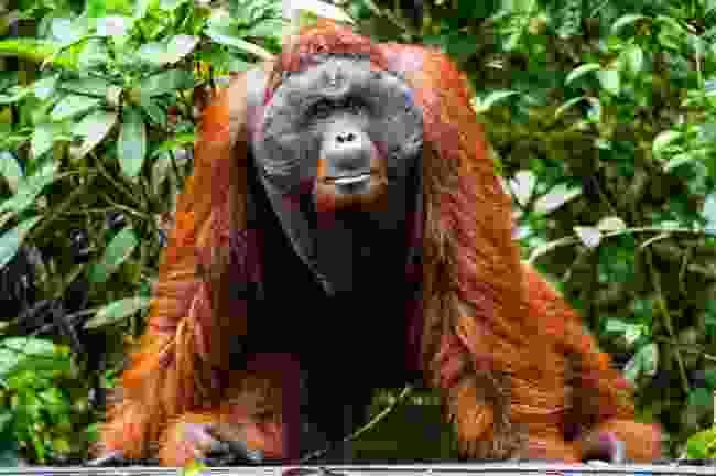 Orang-utan in Tanjung Puting NP (Dreamstime)