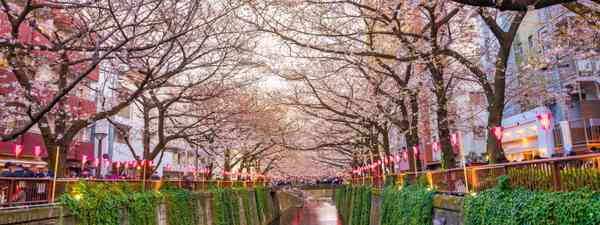Japanese cherry blossoms, Meguro canal (Dreamstime)