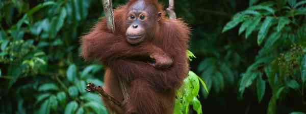 An orangutan clenches onto a tree (Dreamstime)