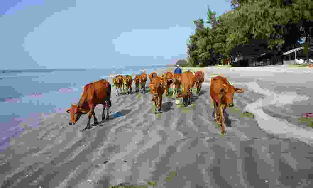 Think of a funny caption to go with this picture of a herd of cows on the beach (Dreamstime)