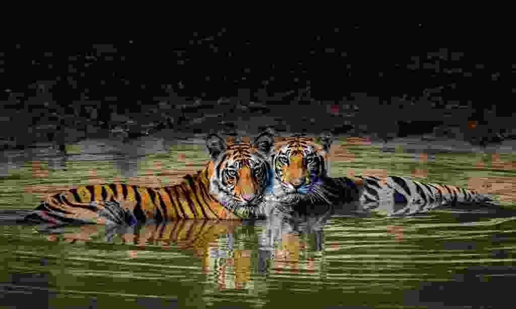 Bengal tigers, India  (Paul Goldstein)