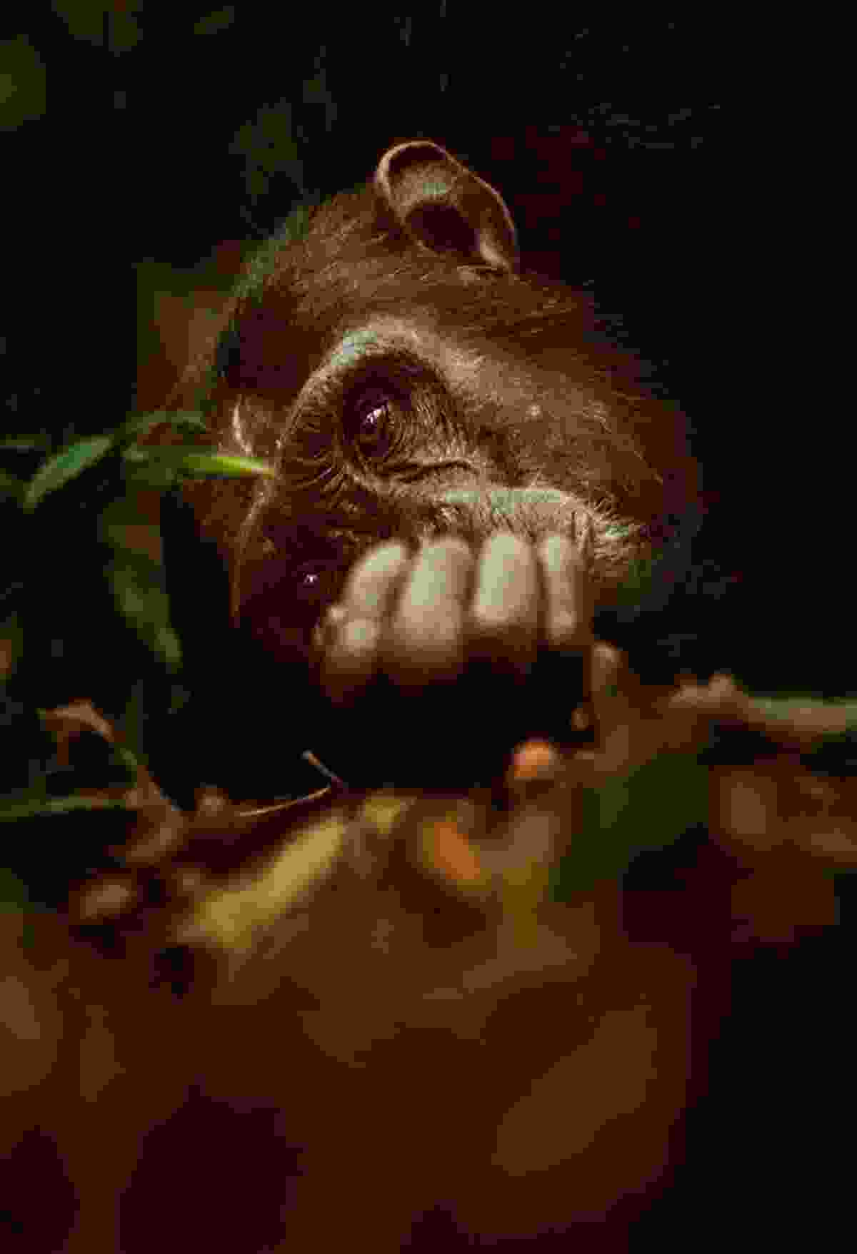 Chimpanzee, Mahale, Tanzania (Greg du Toit)