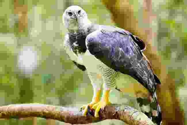A harpy eagle sighting makes it all worth it, says Steve (Shutterstock)