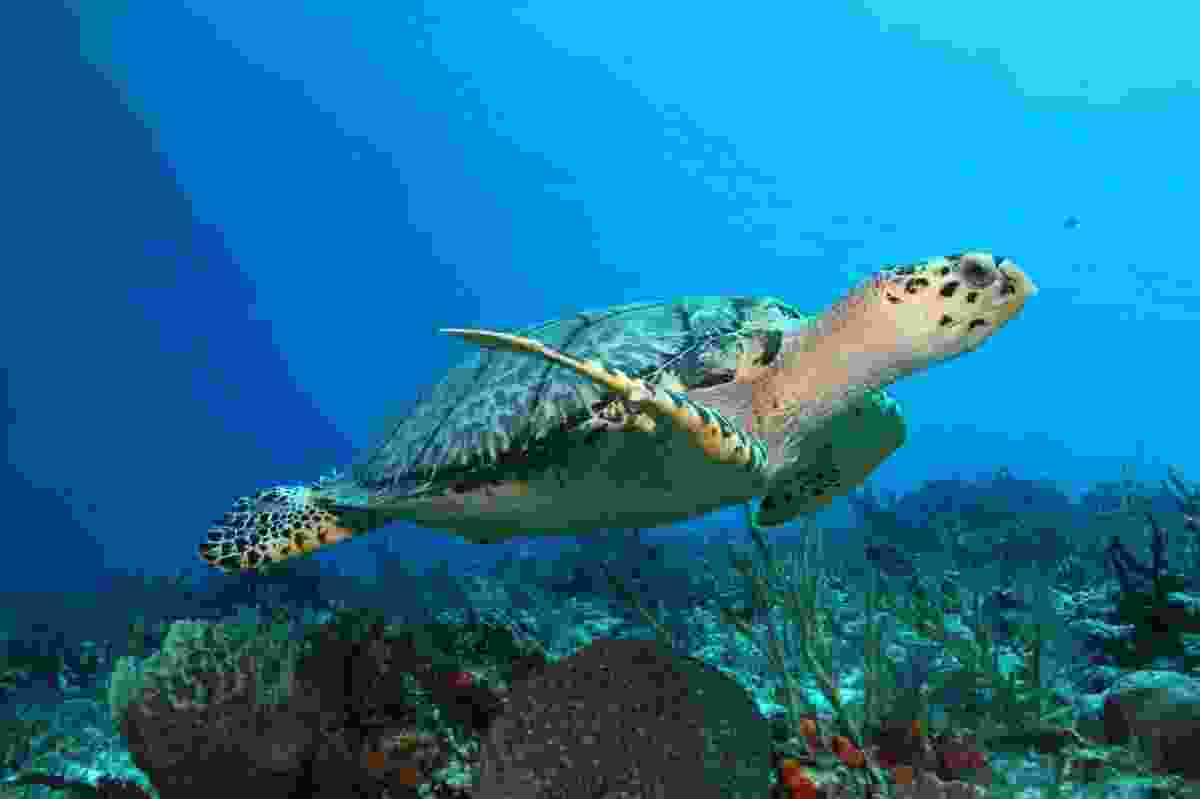 Hawksbill Turtle in waters off Cozumel (Dreamstime)