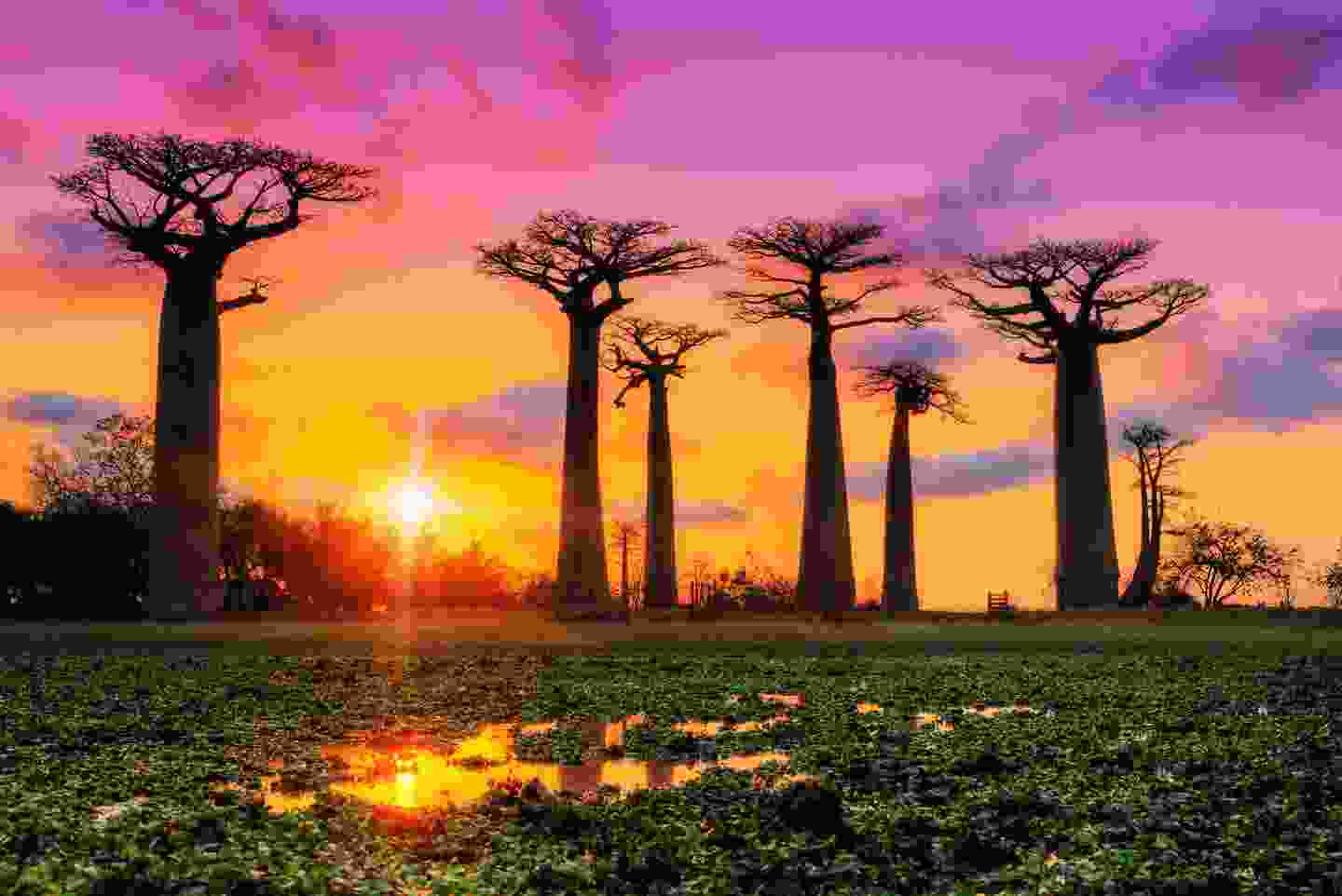Baobab trees in Madagascar at sunset (Shutterstock)