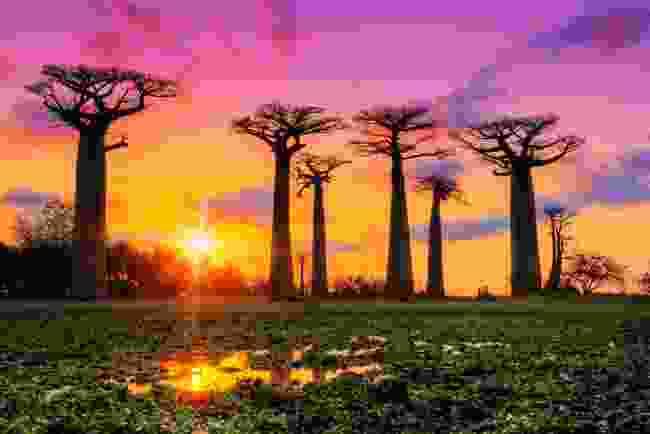 Baobab trees in Madagascar at sunset (Shutterstock)