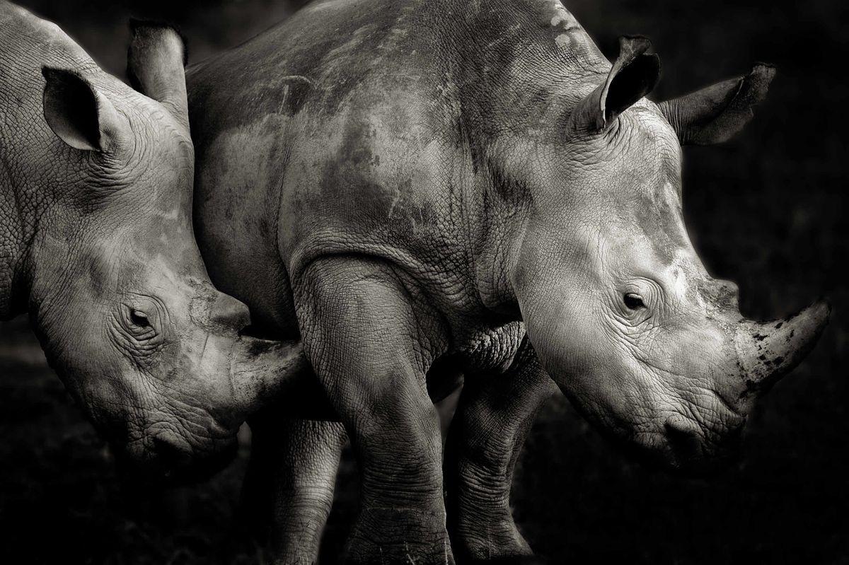 Southern white rhino in Kenya (Piper Mackay)