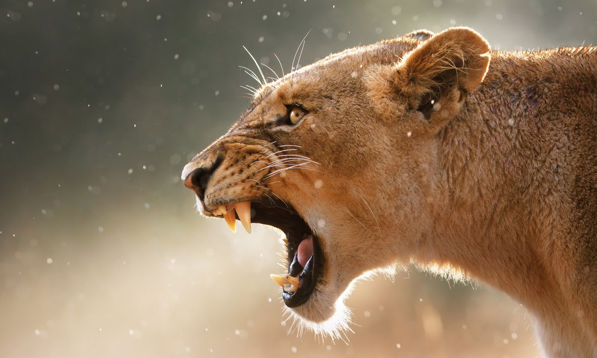 A lioness shows off her fangs with a fearsome snarl in Kruger (Shutterstock)