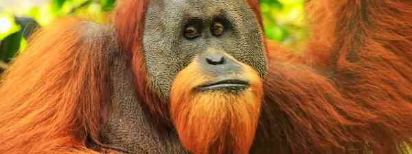 The Sumatran orangutan (Shutterstock)