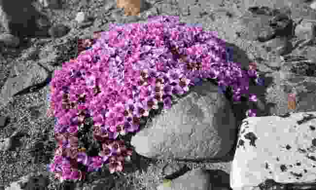 Protect arctic flora such as Moss Campion (Poseidon Expeditions)