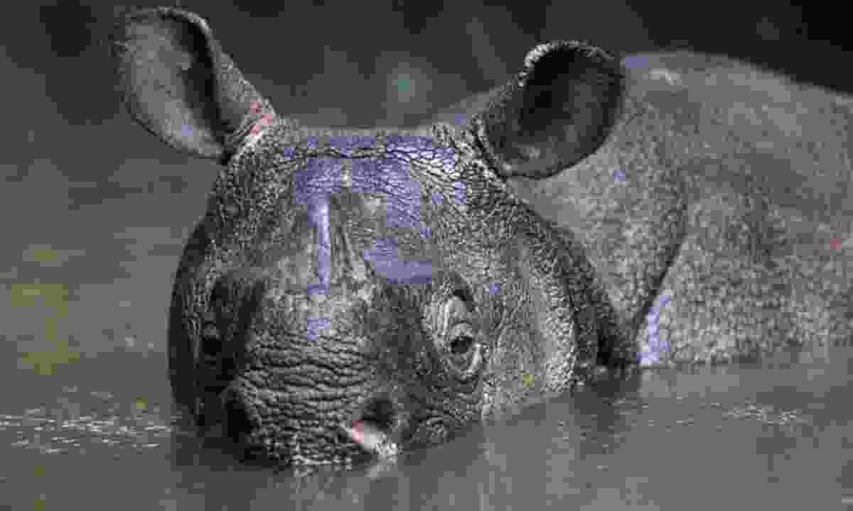 Javan Rhino (rhino.org)